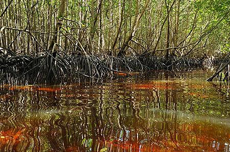 Борьба за сохранность мангровых лесов