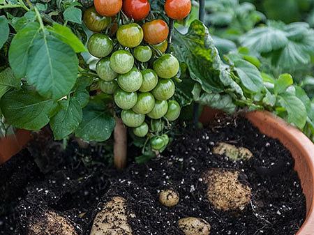 Помидофель – томат или картофель