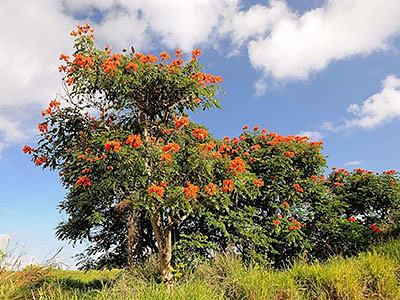 Лириодендрон – тюльпановое дерево