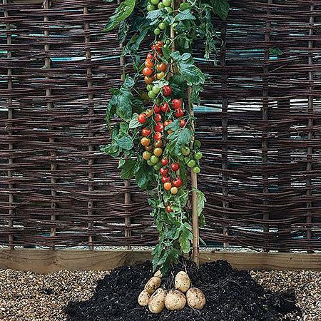 Семена помидор и карофеля