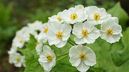 хрустальный цветок (двулистник Грея)