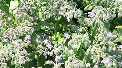 Ботаническое описание бораго