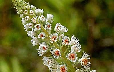 один из видов роскошного красивоцветущего растения