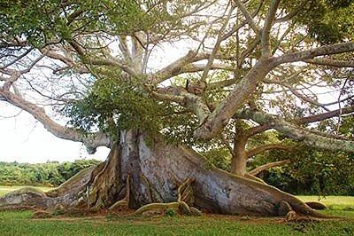 Священное дерево сейба