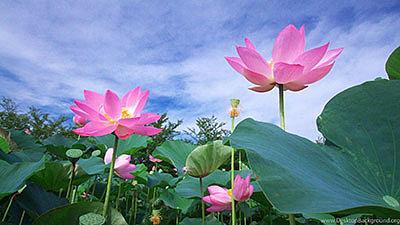 Райский цветок: где растет?