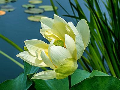 Райский цветок: описание