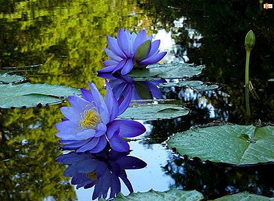 Райский цветок: выращивание