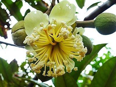 Использование дуриана