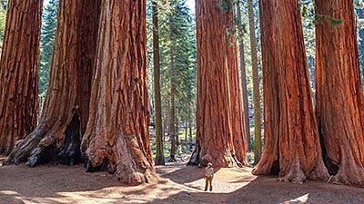 Секвойя - дерево-исполин