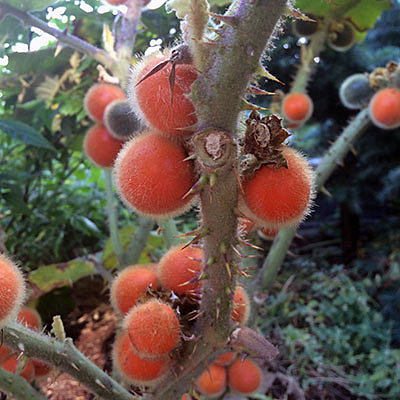 Размножение наранхиллы