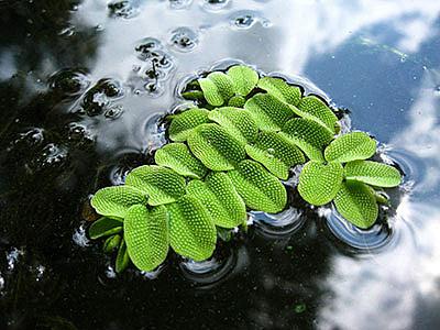 Водные папоротники