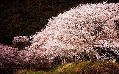 Сакура: символ быстротечности, мимолетности жизни