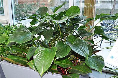 Лиана с темными, насыщенно-зелеными листьями