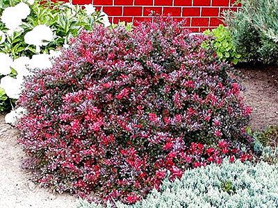 Морозостойкие кустарники (листопадный барбарис)