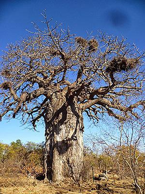 Мопани – уникальное африканское дерево