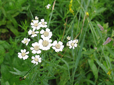 чихотная трава - условия произрастания