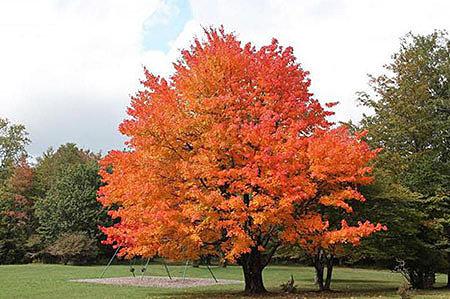 Разновидности «железных деревьев»