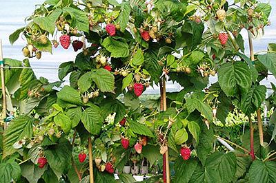 Чудеса ботаники: «малиновое дерево»