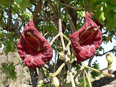 Колбасное (сосисочное) дерево