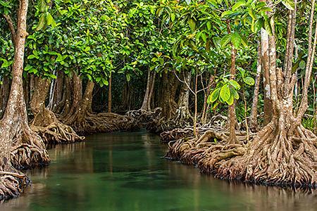 Уникальное явление природы – мангровые леса