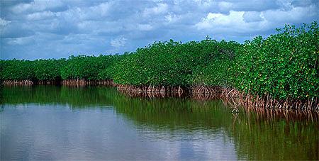 Разнообразие видов мангровых лесов