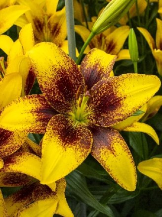 Лилия Йеллоу Браш (Lilium Yellow Brush), 10шт, Color Line