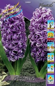 Гиацинт Перпл (Hyacinth Purple), 5шт, Color Line